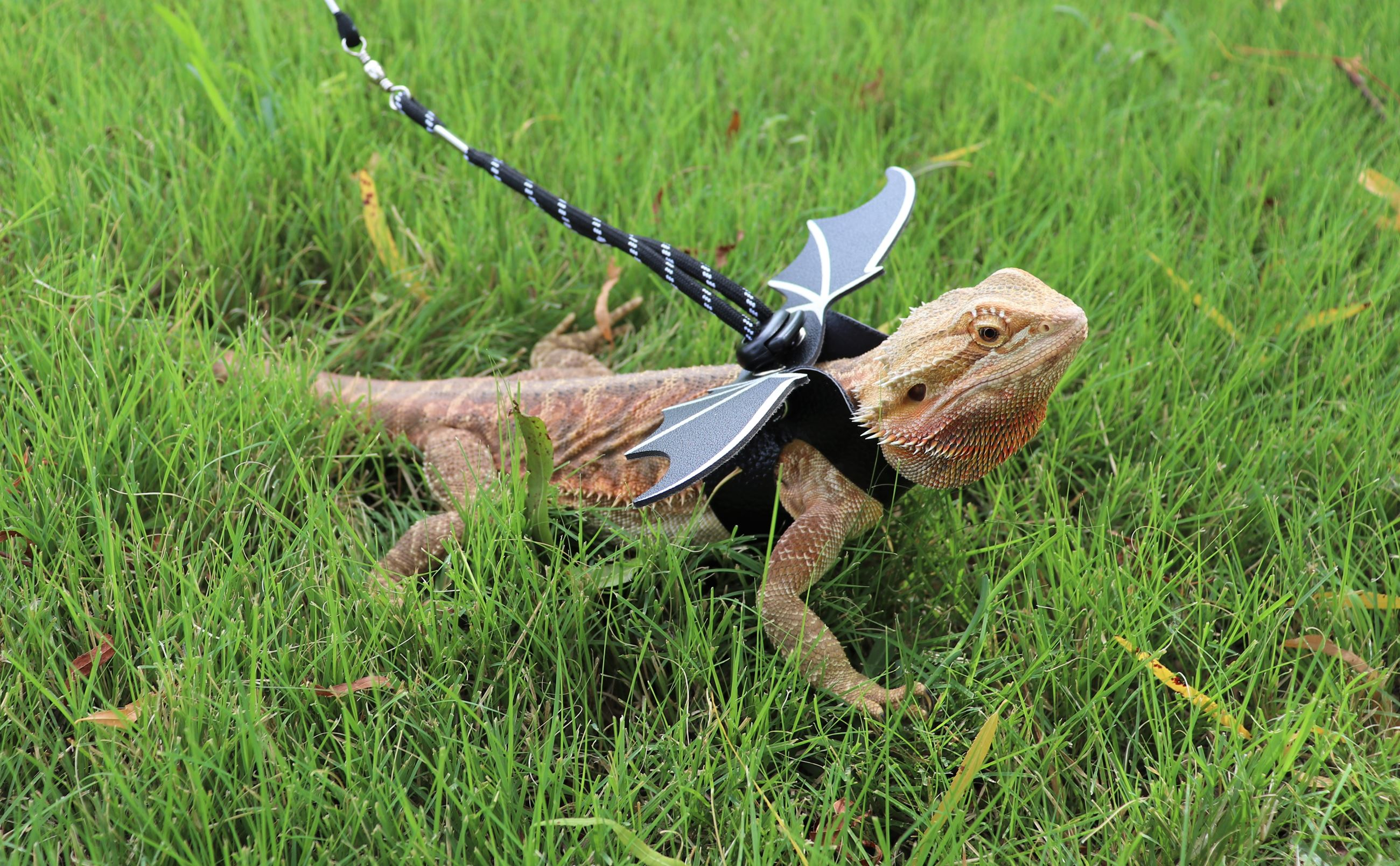 Bearded Dragon on Leash