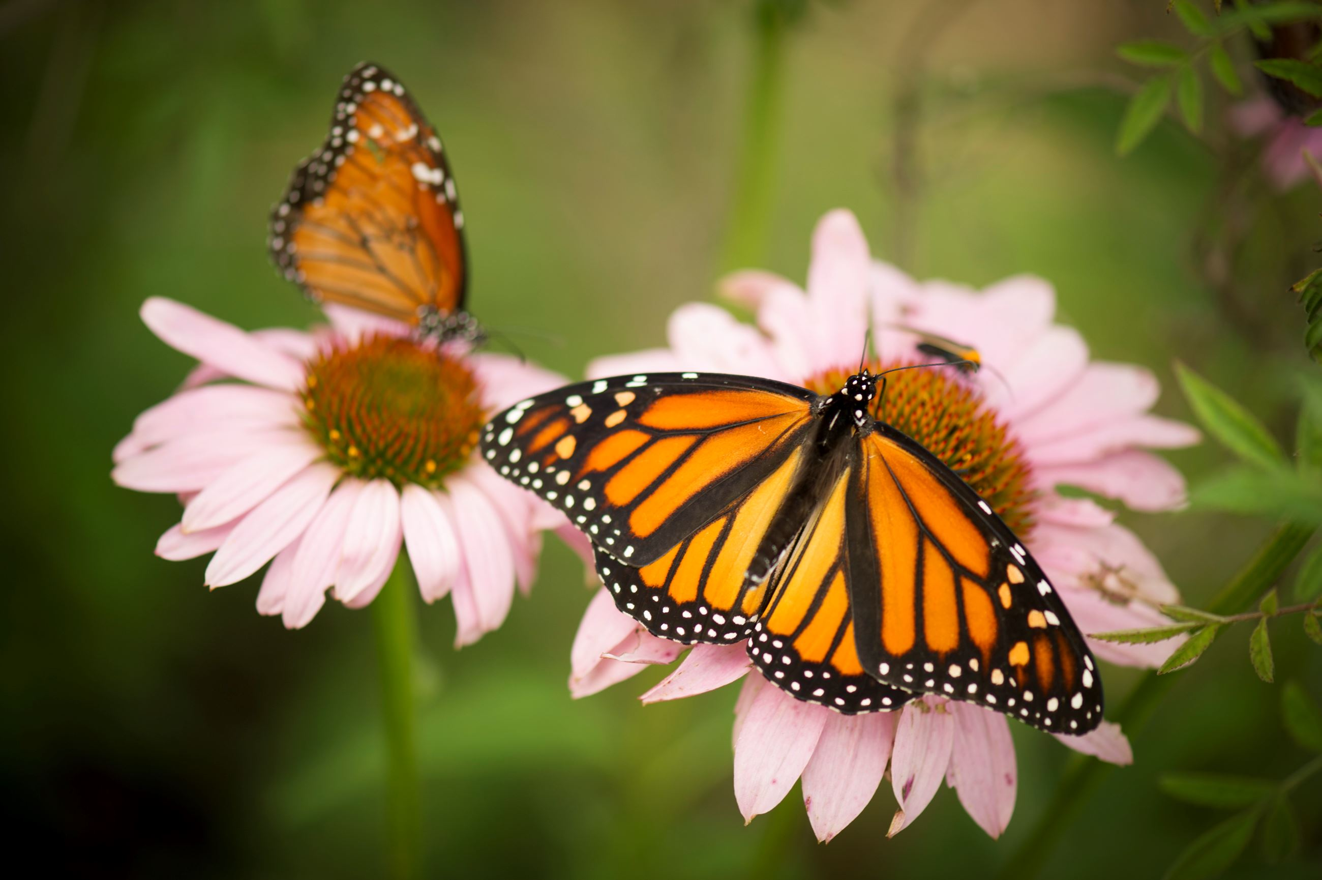 Monarch Butterfly_8318